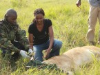 KWS Vet and Caroline Monitor Temperature and Breath Rate, 2012.jpg