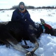Moose Capture, 2012.jpg